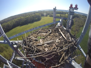 osprey, osprey nest, tower climbing