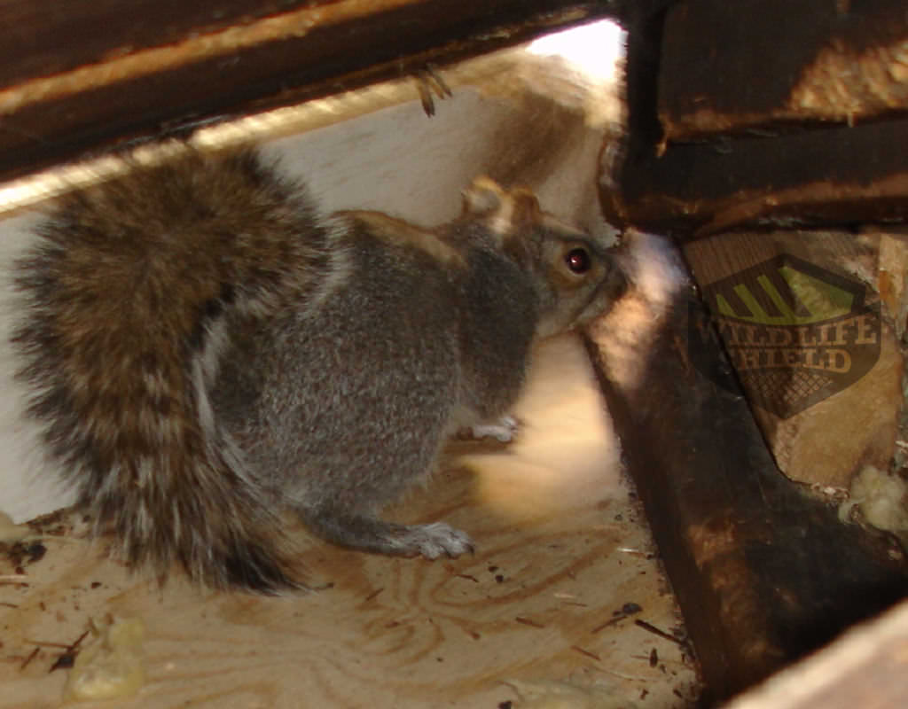 squirrel building a nest in the attic