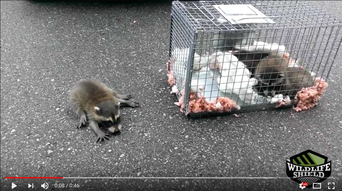 Raccoon Removal Toronto - Professional Wildlife Control Services