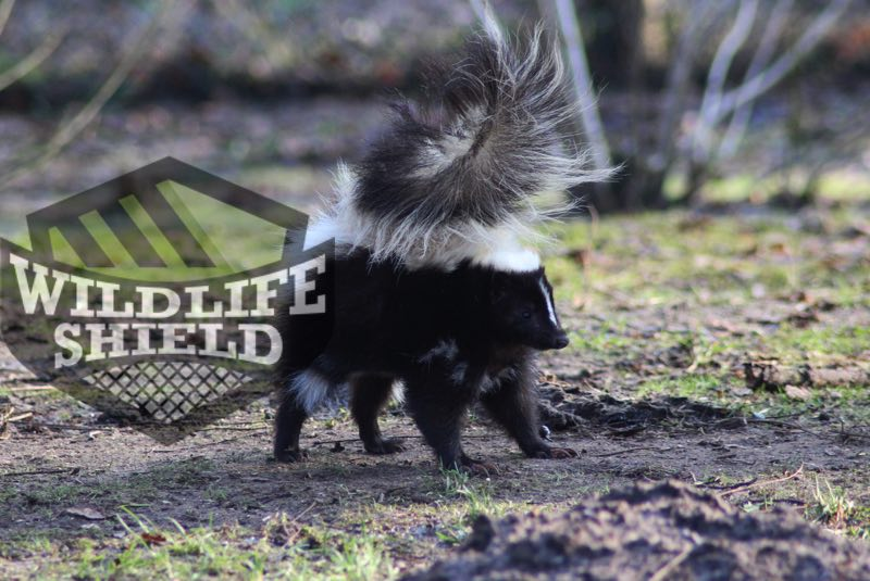 How To Get Skunk Smell Out Of House Wildlifeshield Ca