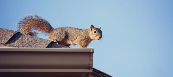 How to Get Rid of Squirrels in an Attic