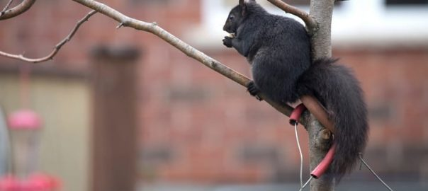 Why Are There So Many Black Squirrels in Toronto