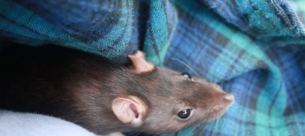 Home Remedies to Get Rid of Rats in Attic