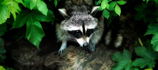 Dangers Of Feeding Raccoons