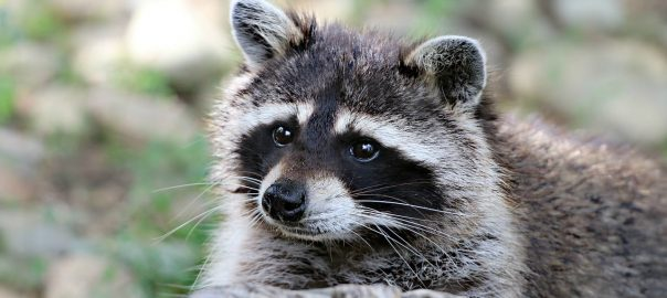 How To Raccoon Proof Your Garbage