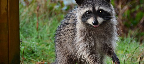 Raccoons - Where Do They Live In Cities