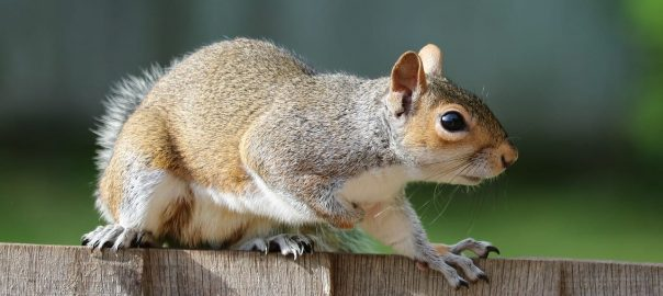 What Home Remedy Keeps Squirrels Away