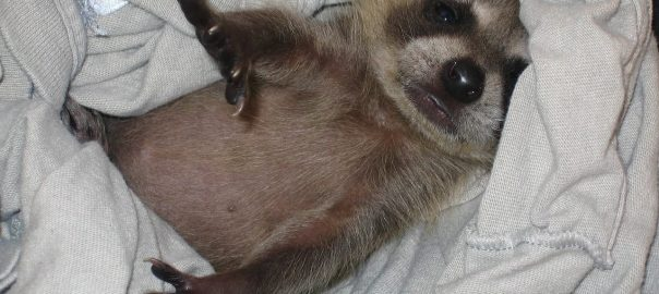 When Do Raccoons Have Babies