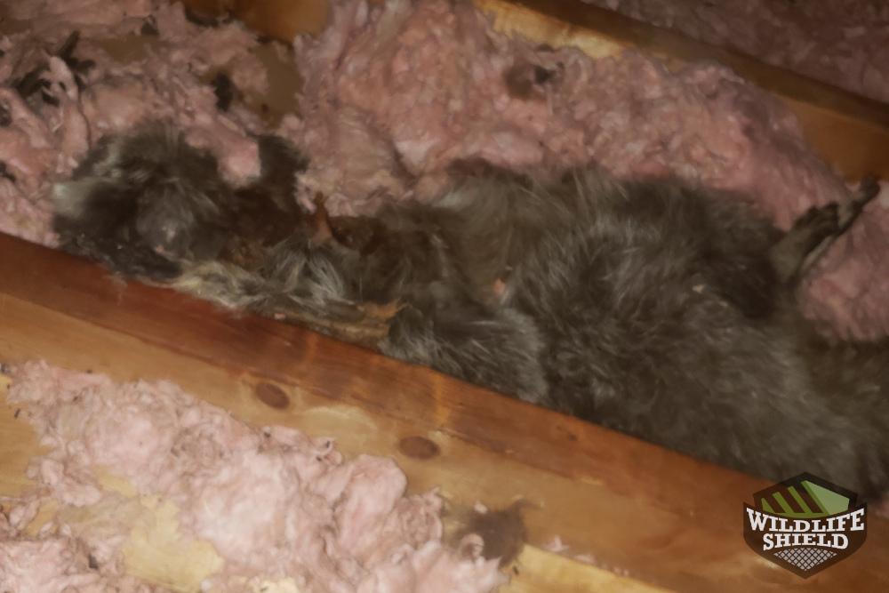 Malvern Dead Raccoon