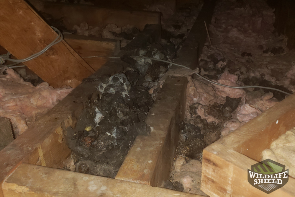 Malvern Raccoon Droppings in Attic