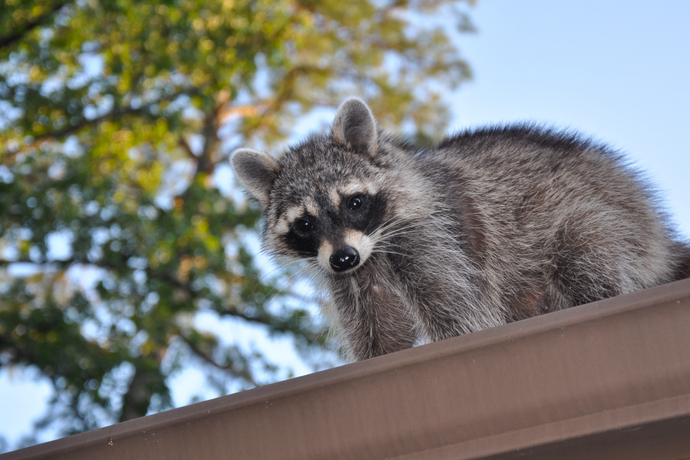 Malvern Raccoon